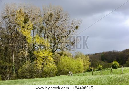 Landscape of trees with mistletoes in Limburg in the Netherlands