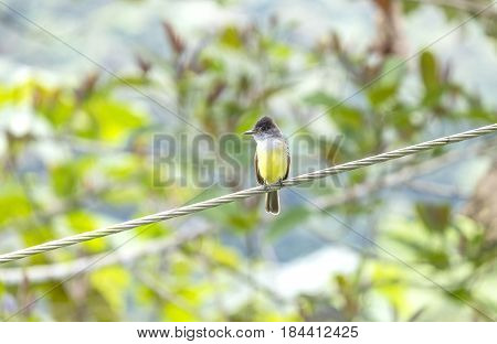 A Great-crested Flycatcher Perched on a Wire