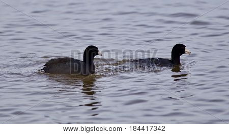 Beautiful Picture With Two Amazing American Coots In The Lake