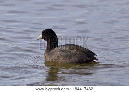 Beautiful Image With Amazing American Coot In The Lake