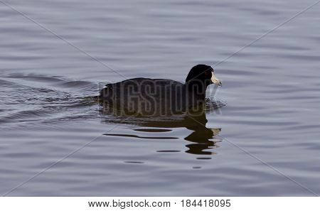 Beautiful Image With Funny Weird American Coot In The Lake