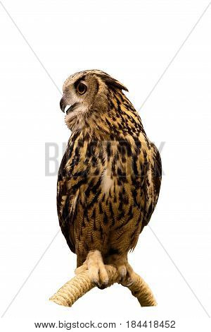 Eurasian Eagle Owl perched on a branch isolated on white background with clipping path.