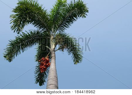 colorful of Fresh foxtail palm fruit. Ripe Areca Nut Palm Or Betel Nut On Tree