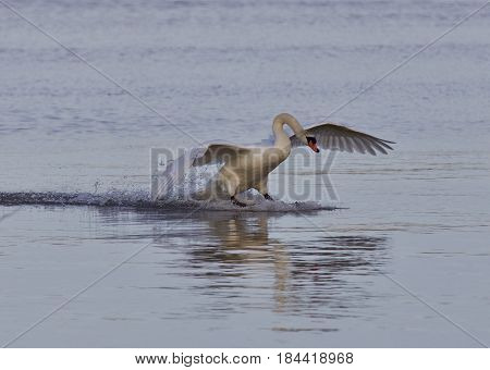 Beautiful Isolated Image With A Powerful Swan's Landing