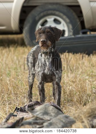 A Drahthaar Hunting dog out in the field after a goose hunt