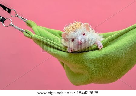 cute hedgehog sleep in the green cot