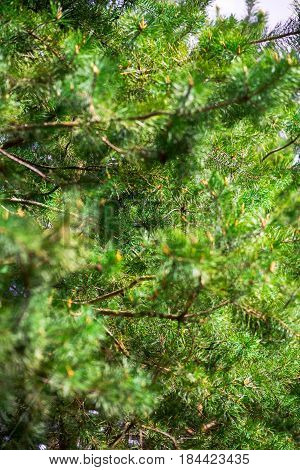 retro close up fir tree unfocused background