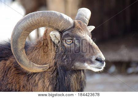 MAture Bighorn Ram Portrait Closeup in the sun