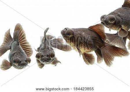 Black moor goldfish( telescope-eyed goldfish ) in the aquarium