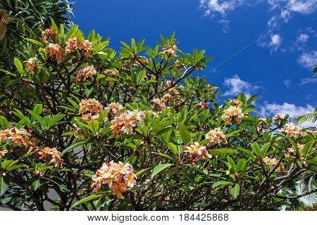 Blossom plumeria tree tropical flowers Plumeria, Madeira, Portugal.