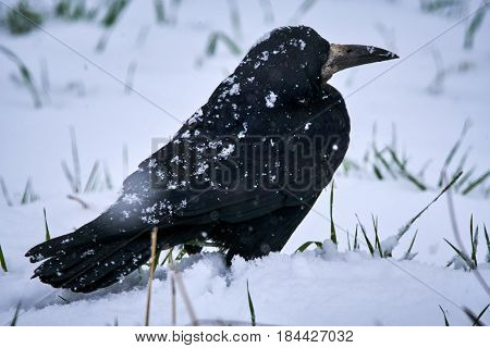 Rook In Snow