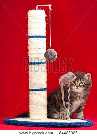 Curious siberian kitten with the scratching post over red background