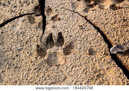 Dog Footprints At The Cracked Ground.