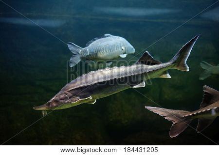 the siberian sturgeon (Acipenser baerii) in water