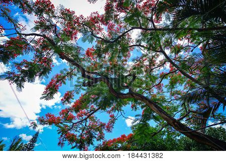 Flamboyant Trees And Flowers In Summer
