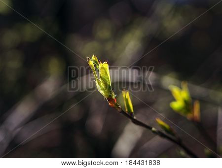 The First Spring Gentle Leaves, Young Branches With Leaves And Buds, First Sprout On Tree Branch.
