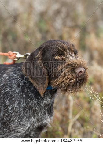 A German Wire haired pointing hunting dog