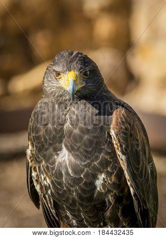 Close Up Of Harris Hawk Or Parabuteo Unicintus