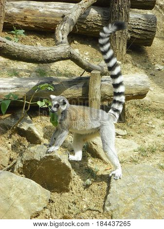 Photo of a ring-tailed lemur standing next to several wooden logs
