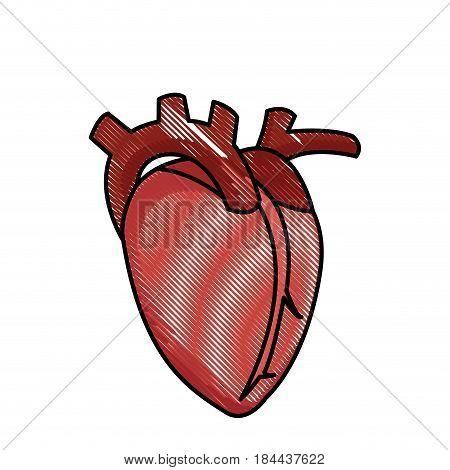 drawing heart human organ healthy vector illustration