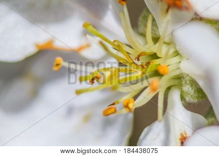 Pistil And Stamens Of The Apple Blossom