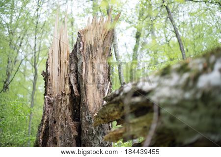 The stump of a rotten old beech tree felled by the wind. Selective focus.