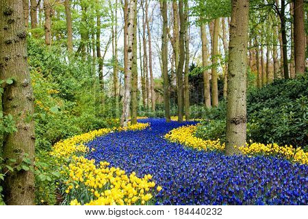 Colorful flowers field in Keukenhof park in Amsterdam area, Netherlands.