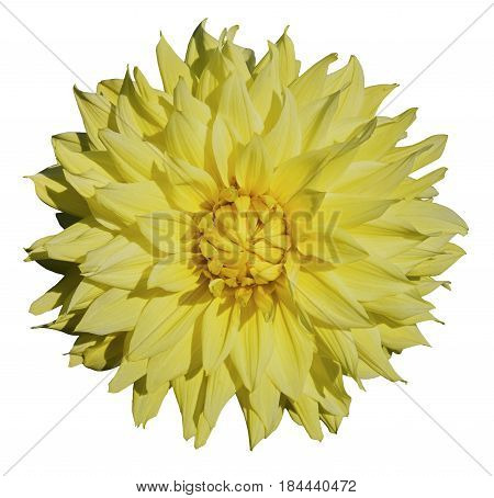 Beautiful yellow dahlia. Isolated on white background