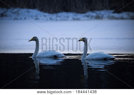 Couple of whooper swans swimming in river at night