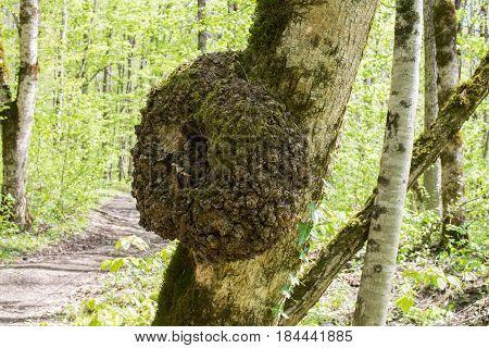 A burl growing on an oak tree.