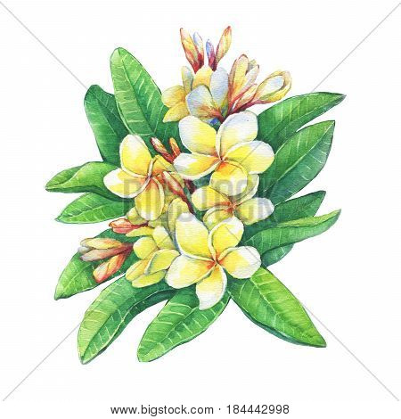 Illustration of tropical  flowers frangipani (plumeria). Hand drawn watercolor painting on white background.