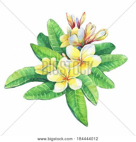 Illustration of tropical resort flowers frangipani (plumeria). Hand drawn watercolor painting on white background.