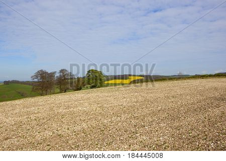 Chalky Bean Field And Trees
