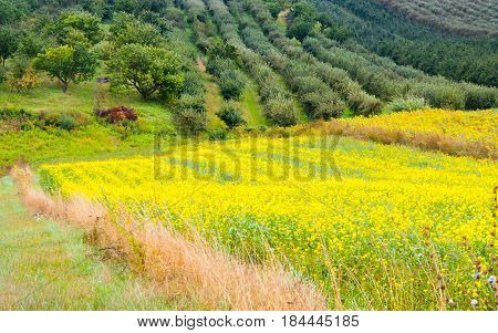 Colza plant yellow and green field in summer