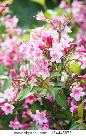 Pink weigela blossom flowers in summer garden