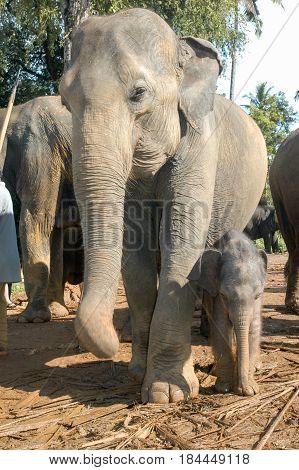 Elephants From The Pinnewala Elephant Orphanage