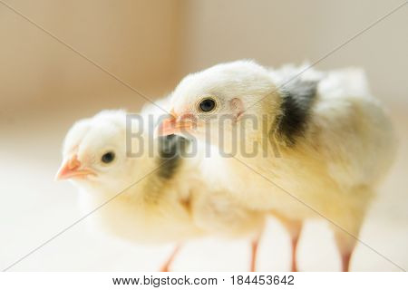 two of little yellow kid chick standing on white background use for animals theme and multipurpose