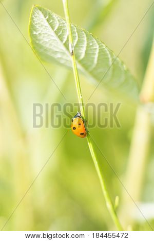 Ladybug sitting on green grass on summer meadow. Macro life soft focus