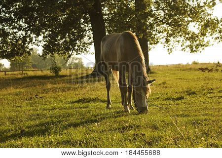 Horse brown color on green glade. Domestic animal horse grazes on pasture. Summer rural landscape with horse in meadow sunlight day