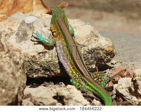 Colored lizard basking on rocks for thermoregulation