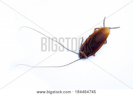 Top view dead cockroach on white background.
