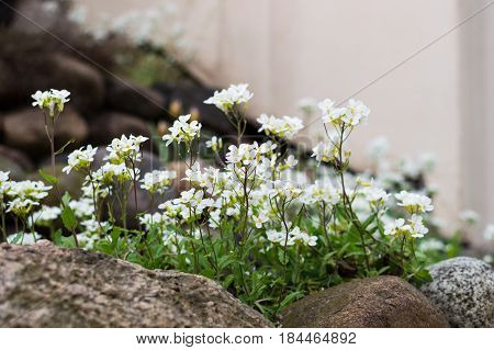 Alpine Rockcress. Alpine hill and beautiful white spring flowers.