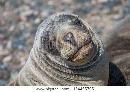 Sea lions at the Patagonia beach Argentina South America