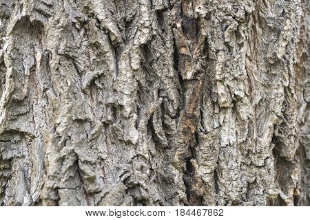Natural texture of weeping willow bark, relief background