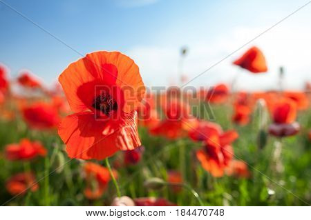 Nature, spring, summer, blooming flowers concept - close-up on flowering red poppies in the field, a sunny spring day with blue sky.