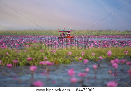 The sea of Red Lotus (Pink water lilies lake) at Kumphawapi, Udon Thani