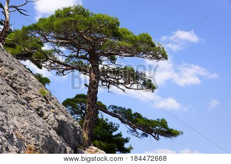 Crimean pine on the mountainside. Landscapes of the Black Sea.A lonely tree on a rock. Blue sky.