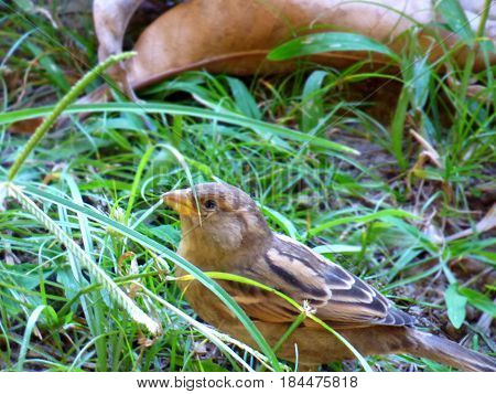 Foreground of a female sparrow. Sparrow close up. Brown-grey birdie. Little cute bird aomng the grass. Passerine bird. Passeridae.