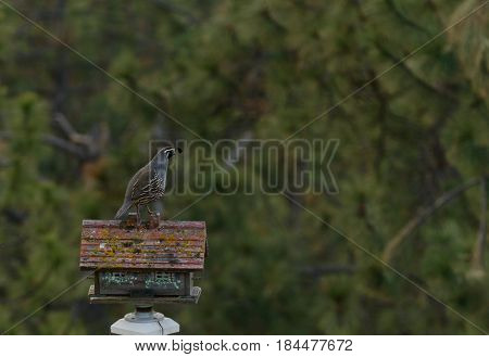 Male California Quail sitting on a bird house in a garden
