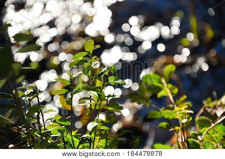 Colorful Green Cowberry Bush Against Bokeh Circles Of Blurred Water. Lingonberry Macro Photo
